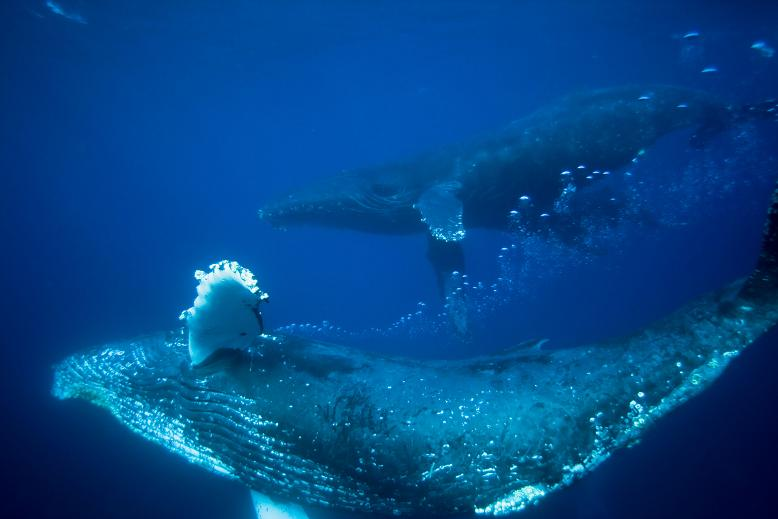 ザトウクジラの画像 p1_30